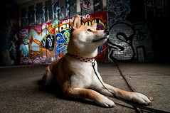 The City is Her Domain 2/52 (kaoni701) Tags: sf sanfrancisco city portrait urban dog cute art night puppy japanese graffiti nikon grafitti flash wide tokina wireless 28 suki shibainu shiba speedlight softbox strobe cls lr3 uwa hotshoe shibaken 柴犬 creativelighting offcamera 1116 ezy strobist d300s 52weeksfordogs