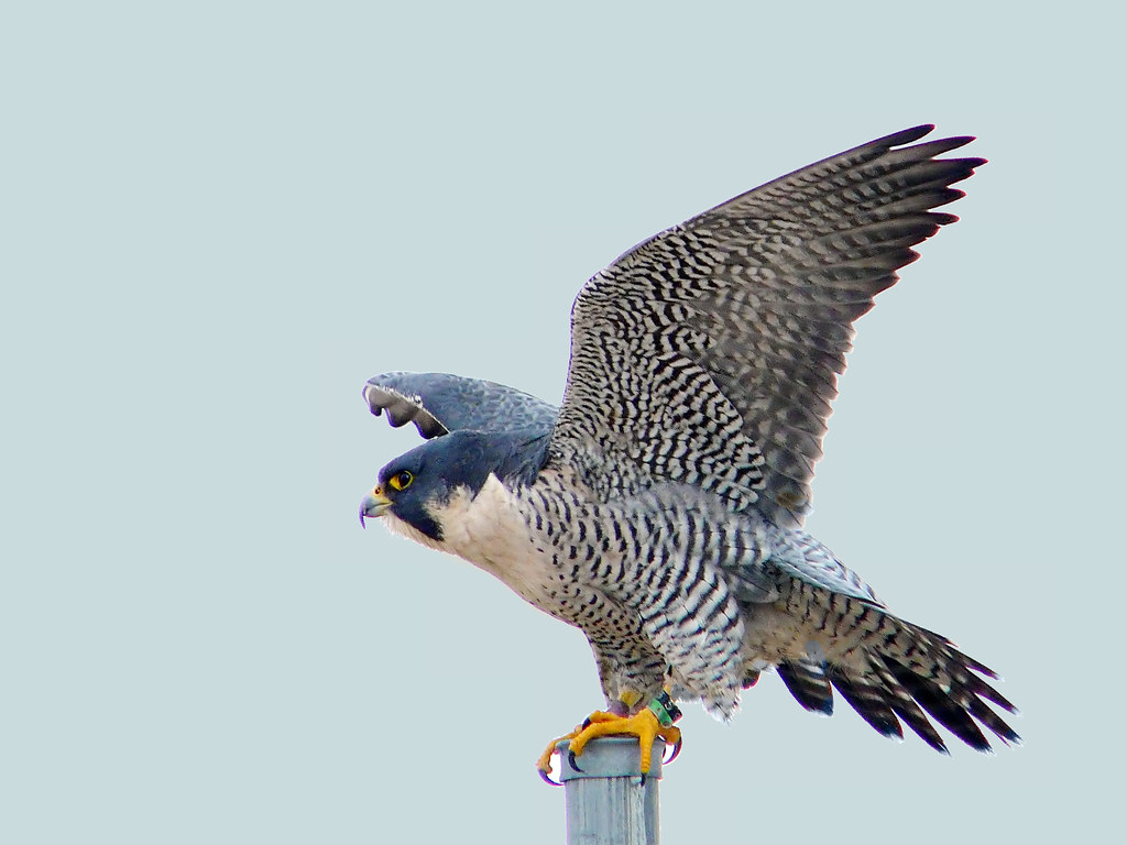 Peregrine Falcon Nests In Western North Carolina Wake Audubon
