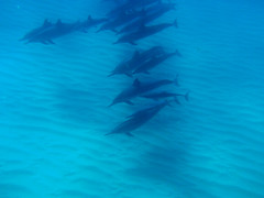 Yeah yeah yeah, I know. More dolphins. (Adam Bognar) Tags: travel fish beach island hawaii pod sand underwater oahu bubbles sealife snorkling dolphins flippers corals spinnerdolphins electricbeach hawaii2009