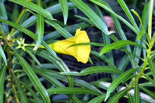 Thevetia peruviana (rq) - 01