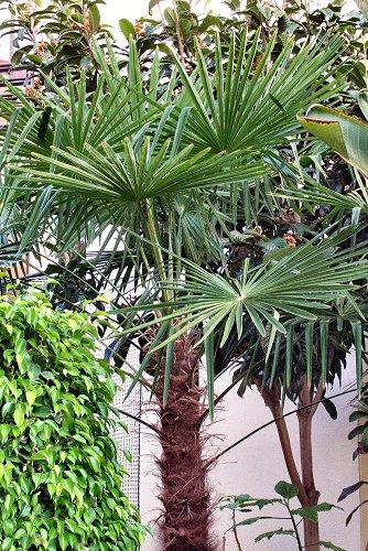 Trachycarpus fortunei (rq) - 02