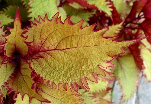 macro hoja beautiful leaves leaf border northcarolina veins lovely coleus brevard bello nervio toothed margin lamiaceae serrated primerplano carolinadelnorte elotoño anawesomeshot