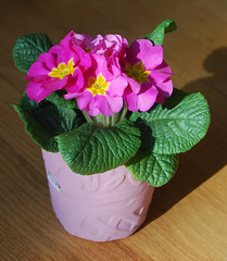 A Bargin at $3.99 (mimicapecod) Tags: pink flowers plants flowerpot primrose pinkflowers naturesfinest mywinners photosofqualitytosmileabout mamasbloomers