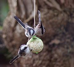 Aegithalos caudatus _ Staartmees (Greet N.) Tags: winter vogels tuin februari aegithaloscaudatus staartmees