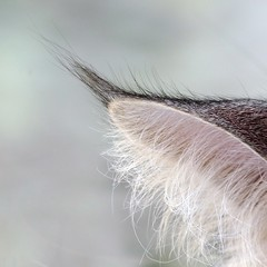 Guess who's ear is this ? (Cajaflez) Tags: macro cat hair kat chat ear mainecoon katze gatto oor haar catnipaddicts saariysqualitypictures