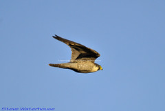 ADULT MALE PEREGRINE FALCON (spw6156) Tags: nationaltrust plymbridge cannquarry adultmaleperegrinefalcondisplayflightfalcoperegrinusraptor500mmlenshandheldiso400 14croppedcopyrightstevewaterhousedonotblog plymperegrineproject plymbridgeperegrinefalcons copyrightstevewaterhouse