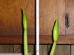 Amaryllis on Jan 24, 2010