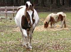 Amigo's (ToJoLa) Tags: nature canon natuur pony brabant 2010 paard canong10