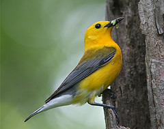 For Vicki, Prothonotary Warbler, male (asparks306) Tags: bravo naturesfinest specanimal anawesomeshot avianexcellence