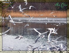 "Battle of the Bread (""""Irene"""") Tags: county ireland seagulls bird love beautiful birds out bread for flying wings chaos feathers diving battle it your stunning fighting wicklow allrightsreserved arklow spreading flocks santuary swooping theinspirationgroup irenecartonsphotography"