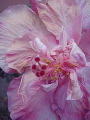 hibiscus rosado (IDIAY) Tags: pink flower macro luz easter amor paz vida dios tolerancia cuaresma semanamayor hibiscusrosado