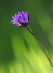 Blue Dicks (Dichelostemma capitatum) (steveberardi) Tags: california blue flower green southern wildflower bluedicks dichelostemma brodiaea capitatum purplehead wonderfulworldofflowers photocontesttnc10 sbfavorites