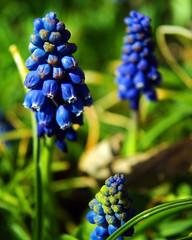 Grape Hyacinth (Bryce Bradford) Tags: flower macro spring colorado longmont olympus om grape hyacinth kiron e500 2885mm f284
