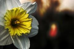 White Daffodil HDR 02 (Justin Stubleski) Tags: white macro minnesota yellow minneapolis daffodil twincities hdr highdynamicrange 55414 macrophotography minneapolismn whitedaffodil justinstubleski