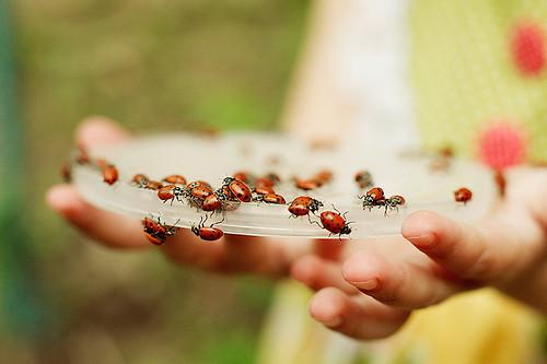 108/365 . . . ladybugs