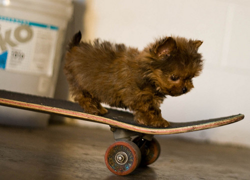 brown dog on a skate board