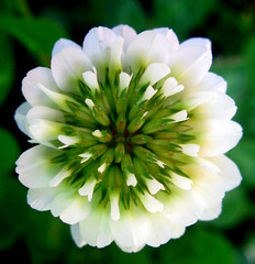 clover flower (lookie.lew) Tags: new white flower verde green canon spring flora blossom bokeh stamens pistil petal bee honey bloom clover simple gettyimagescallforartists