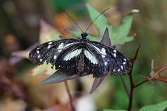 baudchon-baluchon-mindo-papillons-18