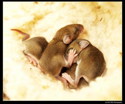 Deer Mice babies (Peromyscus spp.)
