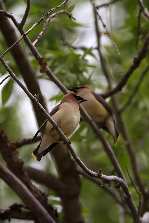 060711_bird_cedarWaxwing