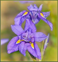 Wild Purple Iris (tdlucas5000) Tags: iris flower flowers closeup macro bokeh creamybokeh sigma120400 yellow wildflowers wildflower fullertonarboretum california winter