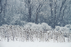 Snow Squall (Matt Champlin) Tags: snow snowstorm squall heavy snowy winter cold morning life nature horses animals farm farms woods pristine white canon 2017 landscape snowing