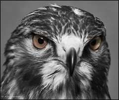 "Buizerd ""Mr Brown Eyes"" (Alex Verweij) Tags: brown alex canon eyes theron afc almere 70200mm valkenier potofgold buizerd verweij 40d roodstaartbuizerd alexverweij oltusfotos almeersefotoclub"