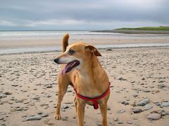 On the beach (Annigram) Tags: camping dog beach woof canon scotland annmarie clapham dumfriesgalloway fourlegged brownandwhitedog 400d canon400d drummore newenglandbaycaravanclubsiteportlogan annigram annmarieclapham