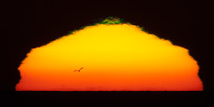 Sunset with small green flash and a gull bird flying forming a silhouette in front of the blazing setting sun with 1200mm (600mm + 2X Tele-extender) off the coast of Morro Bay, CA 30 Oct. 2009 (mikebaird) Tags: sunset green bird silhouette strand bay energy earth flash exhibit canvas morrobay morro morrostrand f40 baird thecoast greenflash 1200mm 600mm 600mmf40 lightphotographic 30oct2009 light30march2011