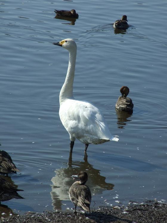 A swan of Oike