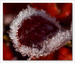Ledov lce  [The Icy Teaspoon] (fesoj) Tags: nature garden geotagged frost hoarfrost freeze rime cotoneaster silverfrost softrime skalnk geo:lat=49581584 geo:lon=18338523