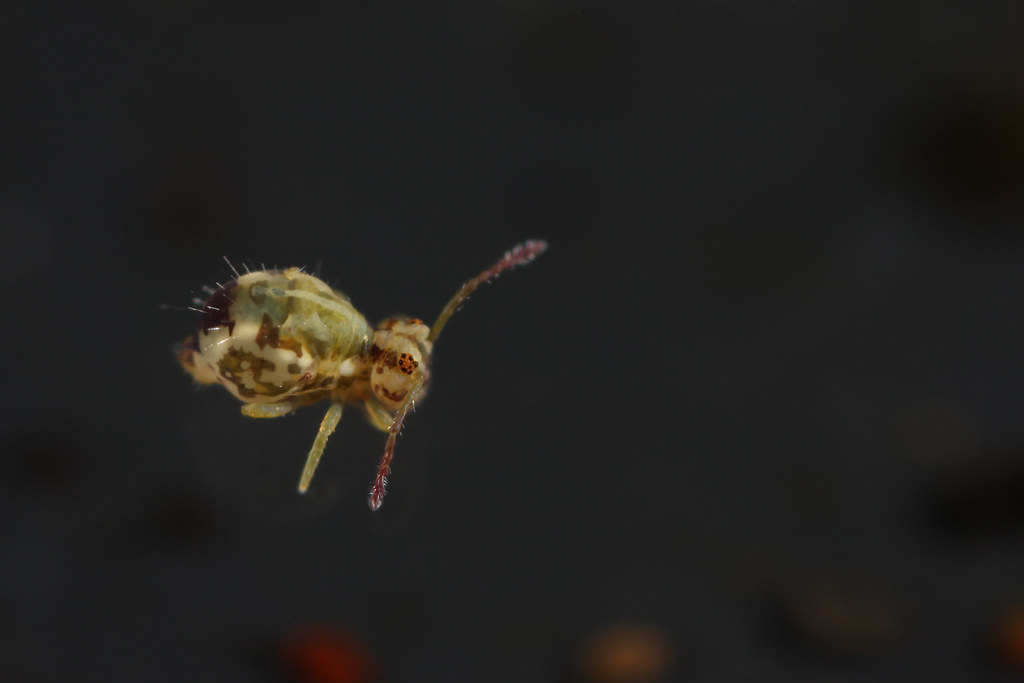 New Species of UK Springtail....