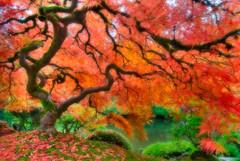 Magical Color Tree (Deej6) Tags: autumn tree fall oregon garden portland landscape japanese pond foilage d80 allxpressus theunforgettablepictures platinumheartaward tokina1116 platinumpeaceaward
