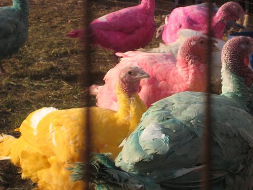 Multi-colored turkeys at Gozzi's Turkey Farm.