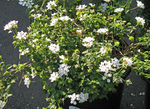 Geraniums can be a showstopper anytime of year and come in a variety of lively colors in addition to this white one.