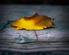 Autumn Leaves (pollypanna) Tags: morning winter cold yellow torino 50mm leaf novembre olympus fallen 2009 manualfocus pollyanna