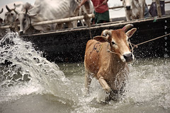 jumping off towards slaughtering... ( (double-A Apu)) Tags: cow jump cattle muslim slaughter splash bangladesh unload eiduladha aricha boutcher