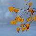 Dewed leaves