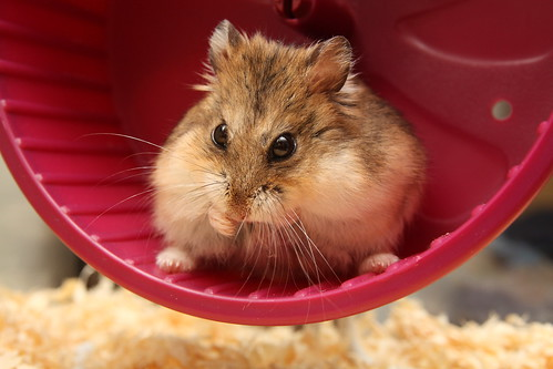 Hamster in a wheel by captainmcdan, on Flickr