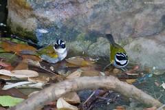 Arremon taciturnus - Pectoral Sparrow (arthurgrosset) Tags: fbwnewbird fbwadded pectoralsparrow arremontaciturnus ticoticodebicopreto