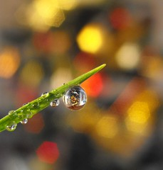 Merry Christmas Everyone!! (mayaq) Tags: christmas reflection tree water grass bokeh drop finepix refraction droplet fujifilm riceworld blueribbonwinner mayaq abigfave platinumphoto colorphotoaward flickrdiamond s1000fd primemacro flickraward imagesforthelittleprince reflectionslovers flickraward5