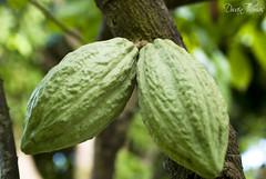 Cocoa (.DwainThomas.) Tags: plant green random grenada standrews cocoa blueberryhill d80 spicepro dwainthomas dwian