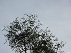 Gum sandarac tree, Il-Maqluba, Malta (leslievella64) Tags: leica trees nature europe mediterranean eu malta leslie maltese hollow malte carob qrendi doline araar vlux1 gharghar lesievella64 ilmaqluba