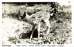 Deer fawn - West Hawk Lake - Manitoba - Canada. - Prairie Postcards PC001724
