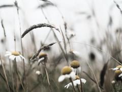 Al viento (_Zahira_) Tags: flowers flores flower luz lafotodelasemana flor olympus nd daisy margarita suelo e500 uro lght 100vistas ltytrx5 ltytr1 50mmom 50omf18