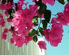 Toque de color (Sita28) Tags: pink blue winter sky white flower blanco nature sunshine azul analog rosa potofgold buganvilla