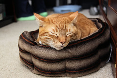 2009_12_05_7495 (BrainPie) Tags: family boy orange cats pets man male love animals cat feline stripes tabby kitty kitties felines striped mancat