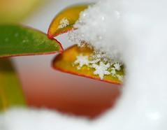 (texaskim81 **busy**) Tags: snowflake winter snow macro foglie nikon colours natura neve flakes inverno colori dicembre 2009 105mm fiocchi d80