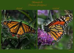 monarch butterfly twofer (mimbrava) Tags: butterfly diptych adult mosaic mimbrava monarch arr dorsal migration milkweed allrightsreserved butterflybush lateral buddleiadavidii asclepiascurassavica danausplexippus bmna scarletmilkweed mexicanmilkweed supereco mimeisenberg mimbravastudio