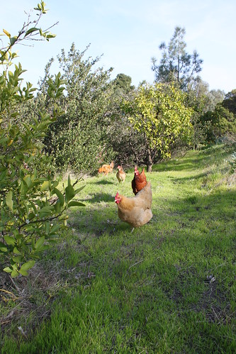 Big Chickens in the Yard